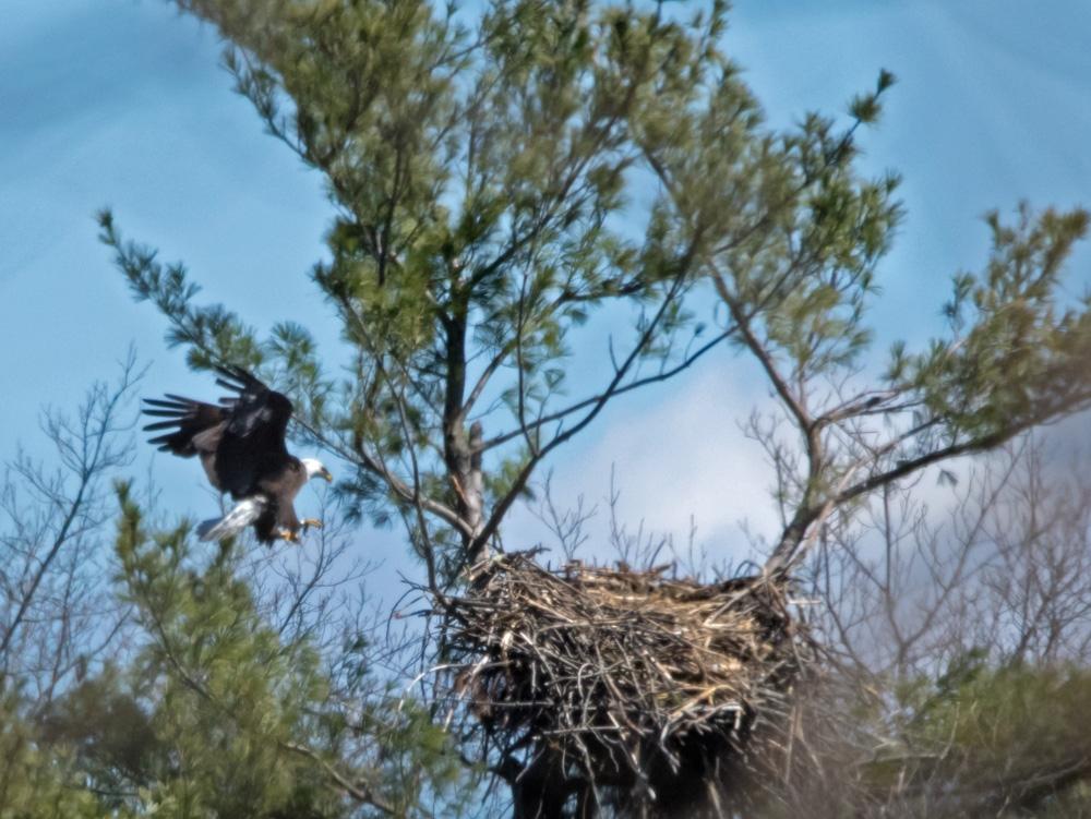 eagle-banded-landing