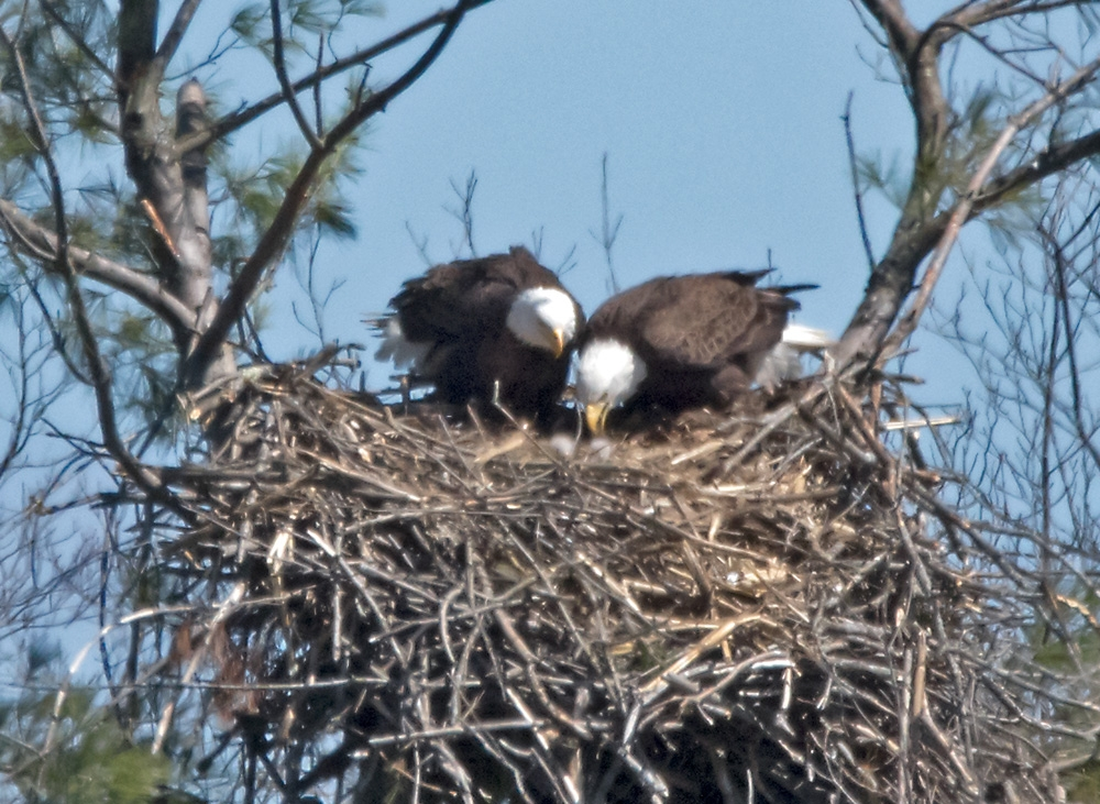 eaglec with chick