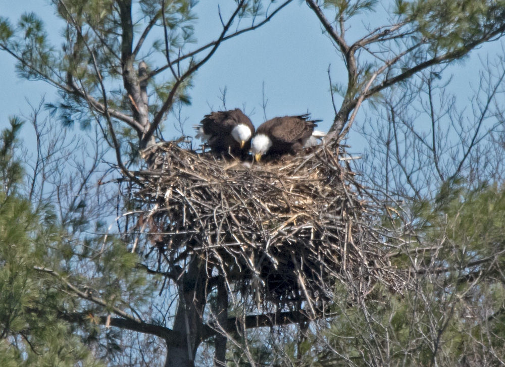 eagles with chick