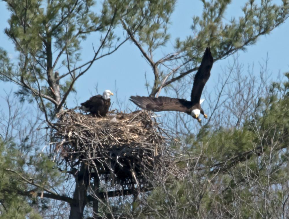eagles one flies