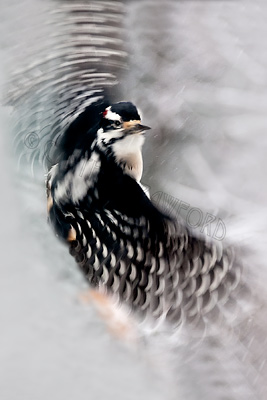 Hairy Woodpecker Flight