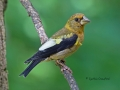 evening.grosbeak.immature.6