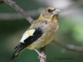 evening.grosbeak.immature