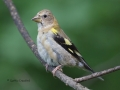 evening.grosbeak.immature3