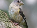 evening.grosbeak.immature4