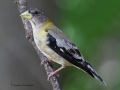 evening.grosbeak.immature5