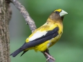 evening.grosbeak.male2