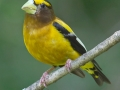 evening.grosbeak.male