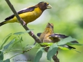 evening.grosbeaks