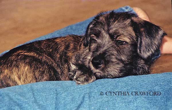glen.pup.legs.c.crawford