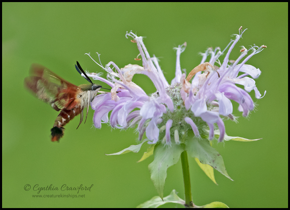 hummingbird.moth_DSC4750 copy
