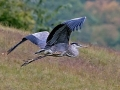 great.blue.heron.flight.c.crawford