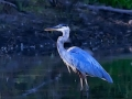 great.blue.heron.moonlight.c.crawford
