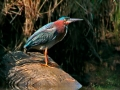 green.heron.on.rock.c.crawford