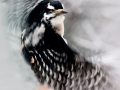 hairy.woodpecker.flight.c.crawford