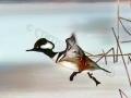 hooded.merganser.take-off.c.crawford