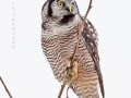 no.hawk.owl.lookup.c.crawford