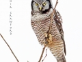 northern.hawk.owl.1.5.2014.c.crawford