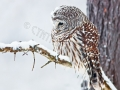 owl.in.snowstorm.c.crawford