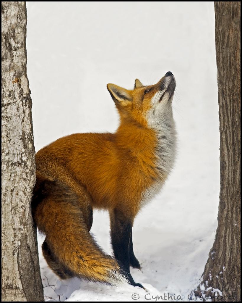 Fox Foxed