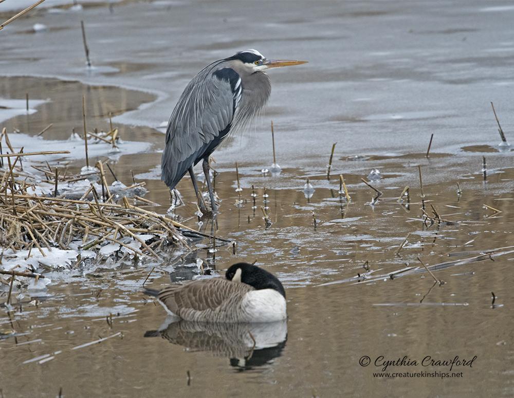 Great Blue Heron, Canada Goose