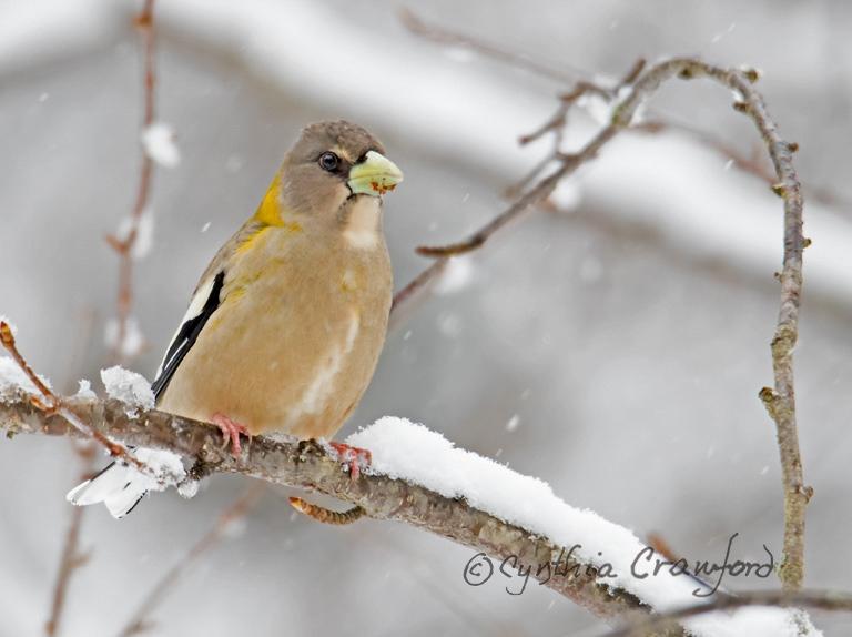 Evening Grosbeak-female