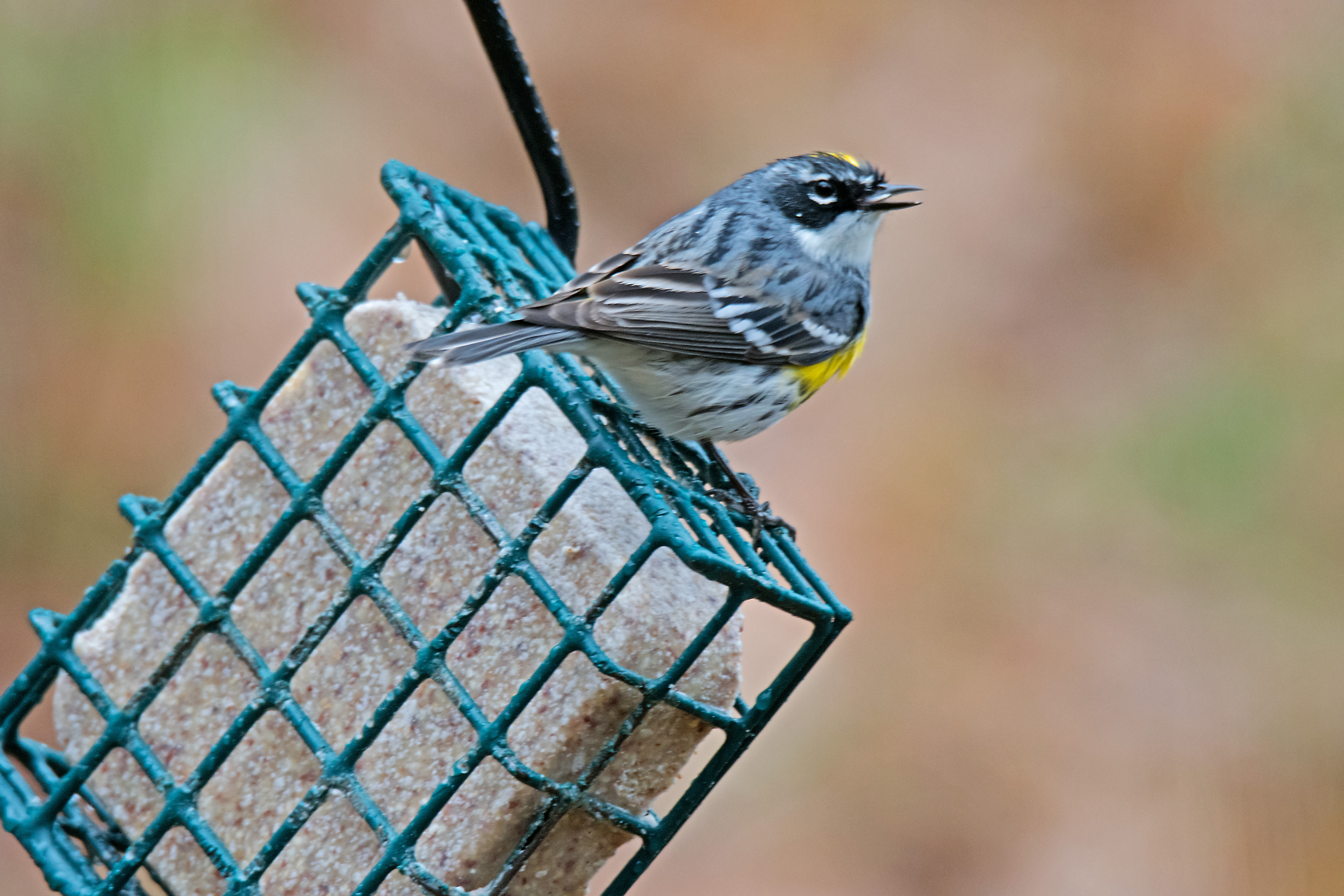 Yellow-rumped Warbler, Yellow-rumped Warbler in Vermont