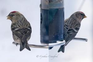 Common Redpoll  Hoary Redpoll