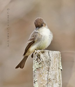 Eastern Phoebe-spring arrival in Vermont