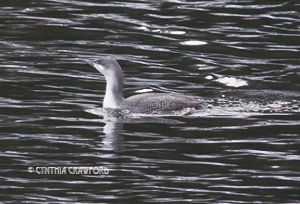 Red-throated Loon in Vermont