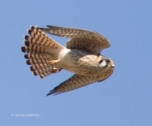 kestrel.worm.fly_3059.jpg
