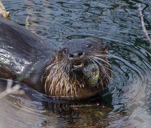 otter.fish_3816.jpg