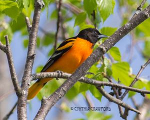 baltimore.oriole.male_5705.jpg
