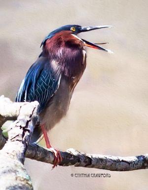 green.heron_5421.jpg