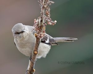 mockingbird_4044.jpg