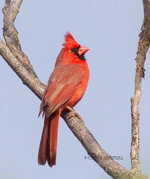 northern.cardinal.male.jpg