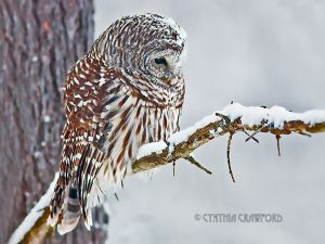 01.barred.owl-snow.jpg