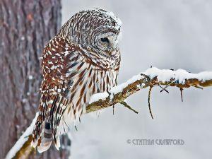 01.barred.owl-snow.jpg