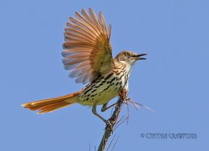 05.brown.thrasher.jpg