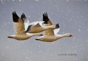 snow.geese.flock.art.snow.degas_3581.jpg