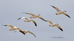 snow.geese.sharp.nr_3494.jpg