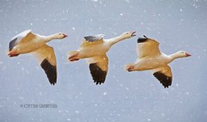 snow.geese3.moved.snow_3498.jpg