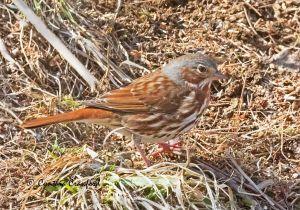 fox.sparrow_O6A1358.jpg