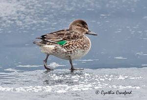 green-winged.teal.f_0784.jpg