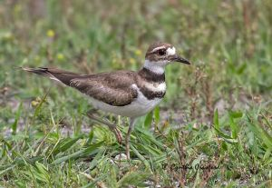 killdeer_0895.jpg