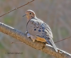 mourning.dove_O6A1174.jpg