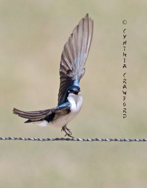 tree.swallow_O6A0612.jpg