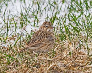 vesper.sparrow_5702.jpg
