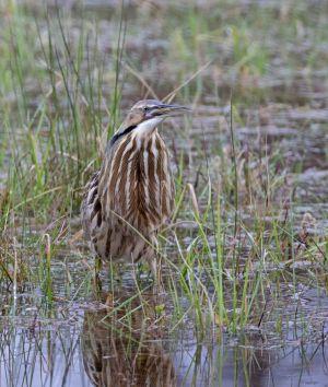 18.bittern.frog_O6A3594.jpg