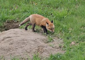 Fox Kit